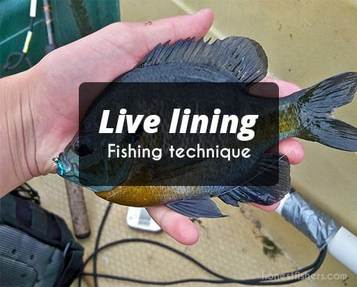 Live lining fishing technique