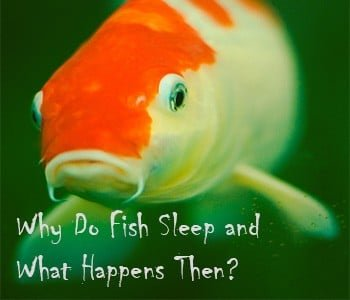 Why Do Fish Sleep and What Happens Then